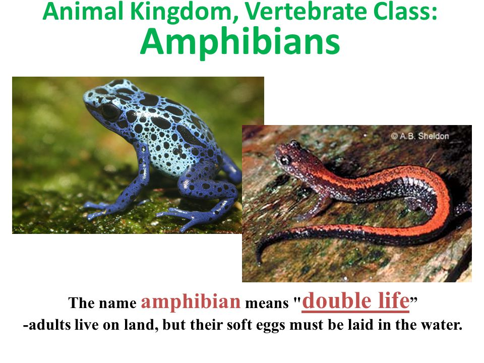 Animal Kingdom, Vertebrate Class: Amphibians The name amphibian means double life -adults live on land, but their soft eggs must be laid in the water.