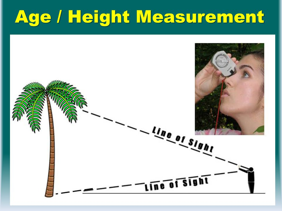 Age / Height Measurement Length of 11 leave scares in cm Length of 11 leave scares in cm Height of palm Height of palm – Distance to bottom – Angle to bottom – Angle to top