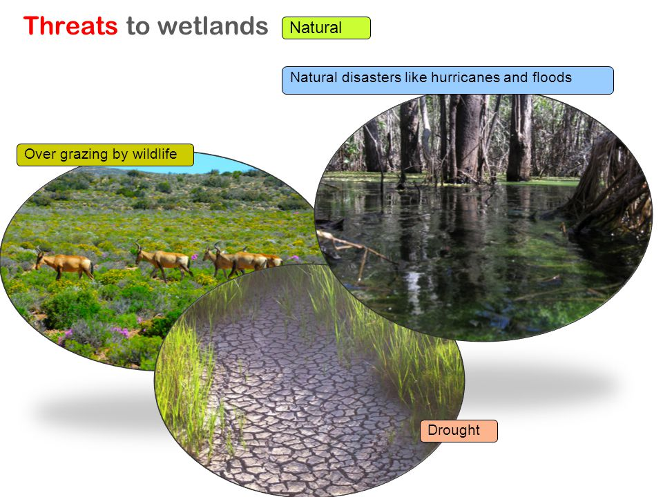 Threats to wetlands Natural Drought Over grazing by wildlife Natural disasters like hurricanes and floods