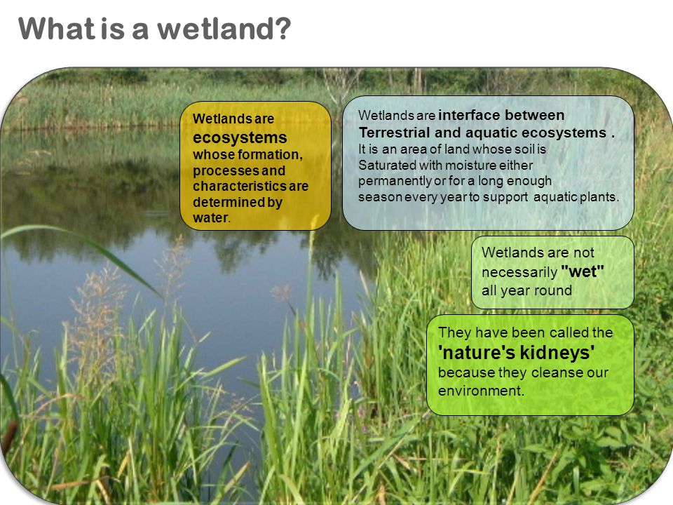 What is a wetland? Wetlands are interface between Terrestrial and aquatic ecosystems. It is an area of land whose soil is Saturated with moisture eith