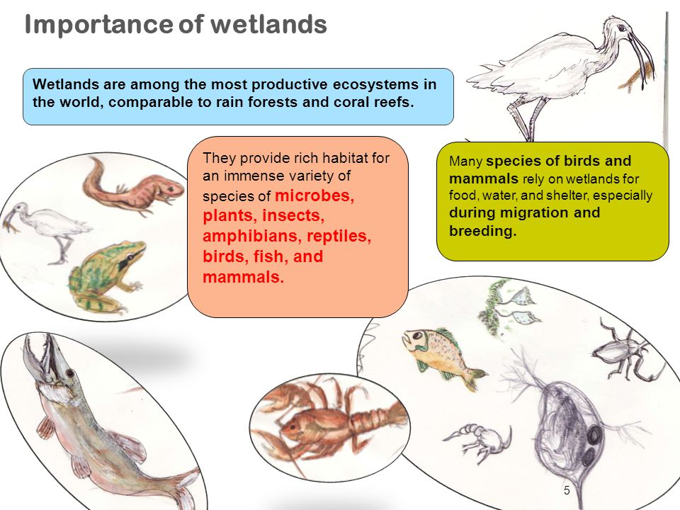 5 Importance of wetlands Many species of birds and mammals rely on wetlands for food, water, and shelter, especially during migration and breeding. Th