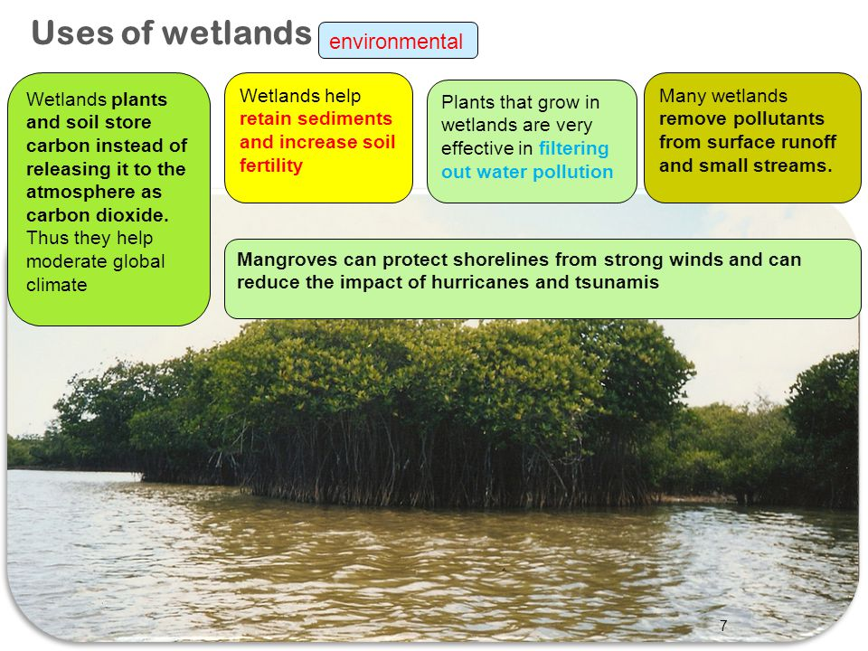 7 Uses of wetlands Wetlands plants and soil store carbon instead of releasing it to the atmosphere as carbon dioxide. Thus they help moderate global c