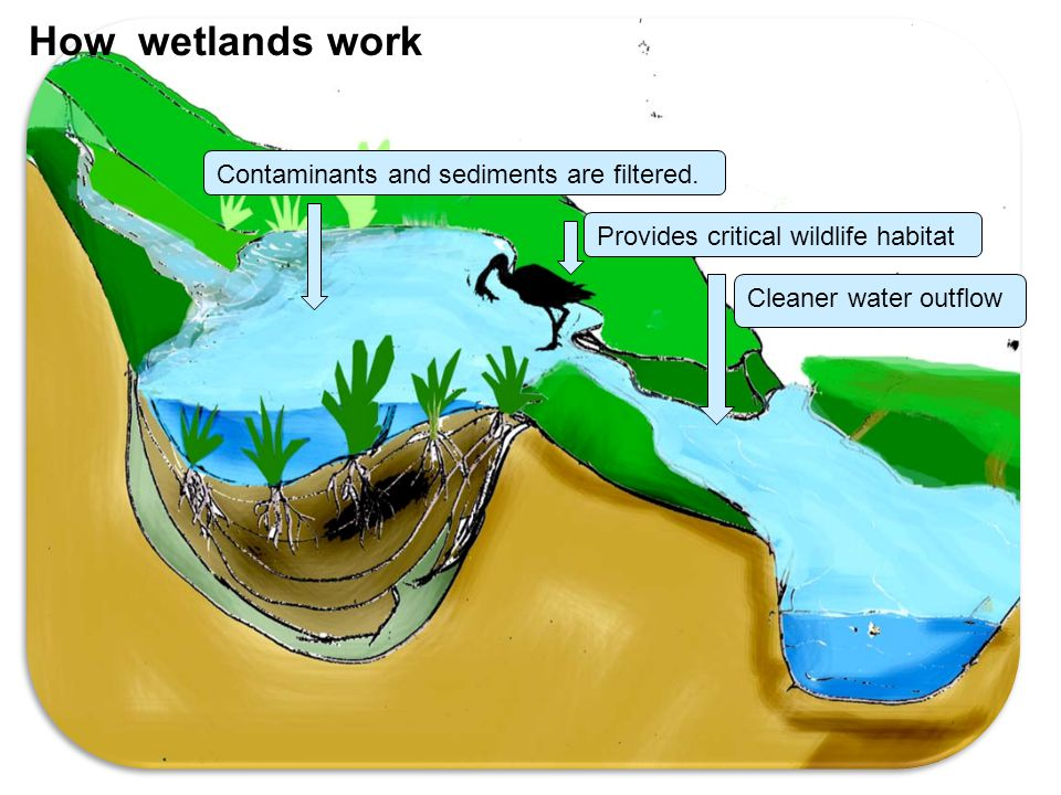 Contaminants and sediments are filtered. Provides critical wildlife habitat Cleaner water outflow How wetlands work