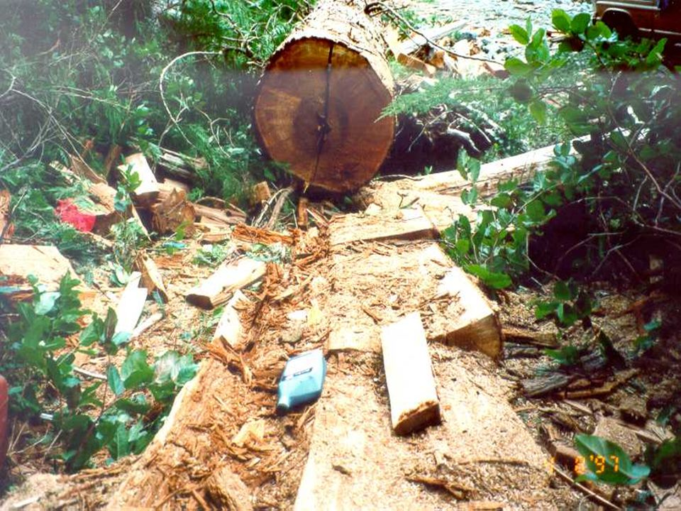 Thieves cut timber where they find it and take only what they want