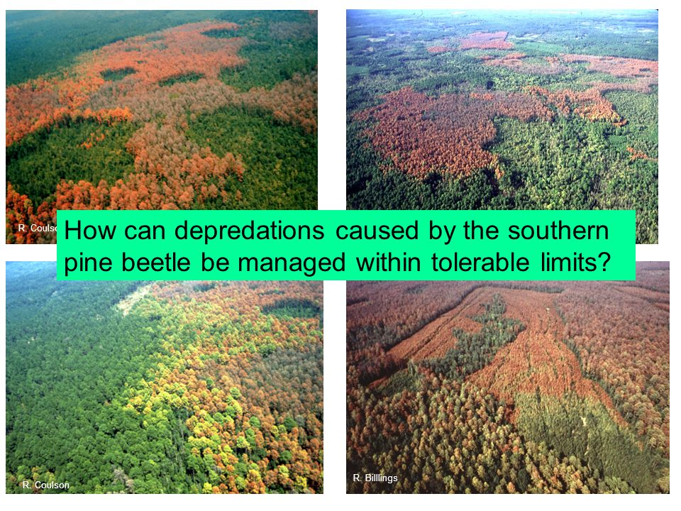R. Coulson R. Billings R. Billlings How can depredations caused by the southern pine beetle be managed within tolerable limits?