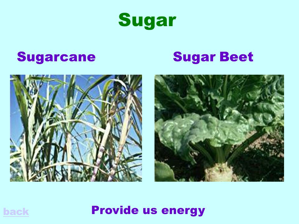 Sugar SugarcaneSugar Beet Provide us energy back