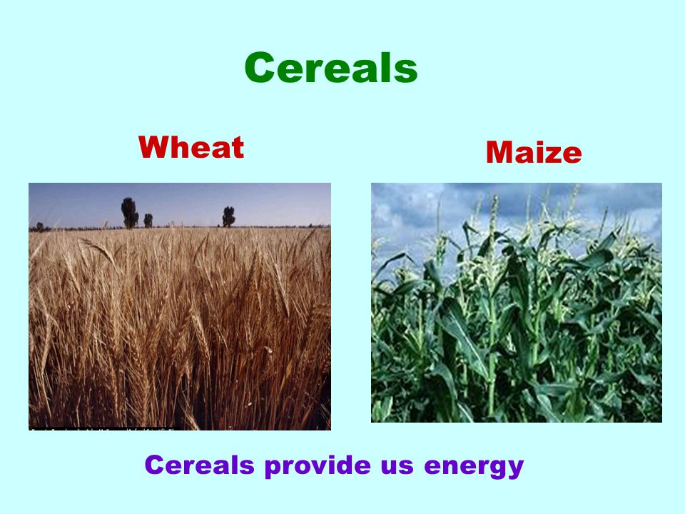 Wheat Cereals provide us energy Cereals Maize