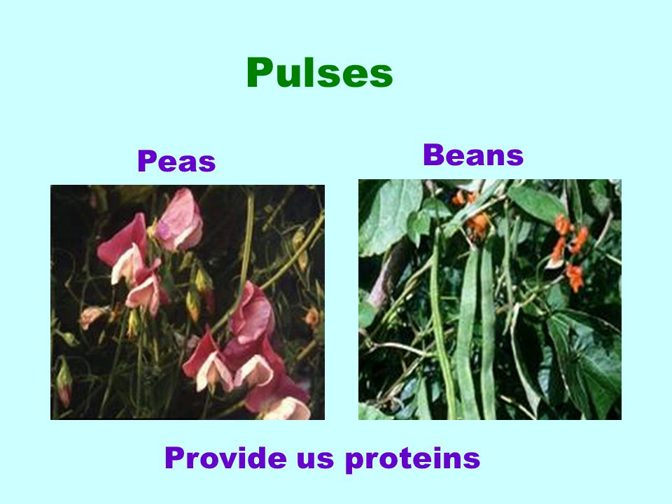 Pulses Provide us proteins Beans Peas