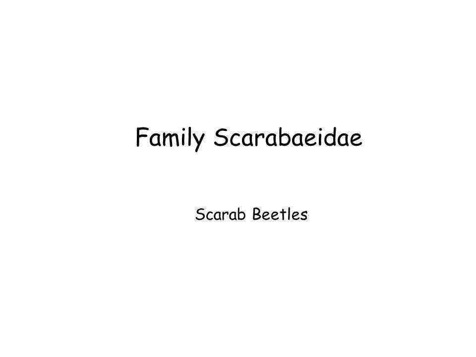 Family Scarabaeidae Scarab Beetles