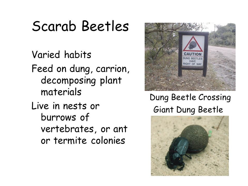 Scarab Beetles Varied habits Feed on dung, carrion, decomposing plant materials Live in nests or burrows of vertebrates, or ant or termite colonies Gi