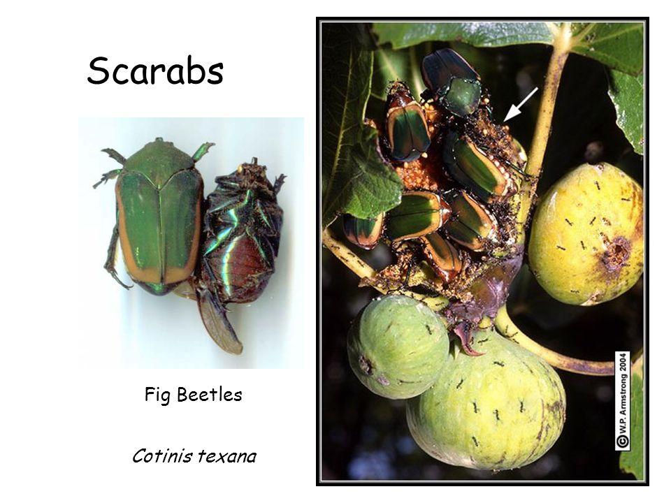 Scarabs Fig Beetles Cotinis texana