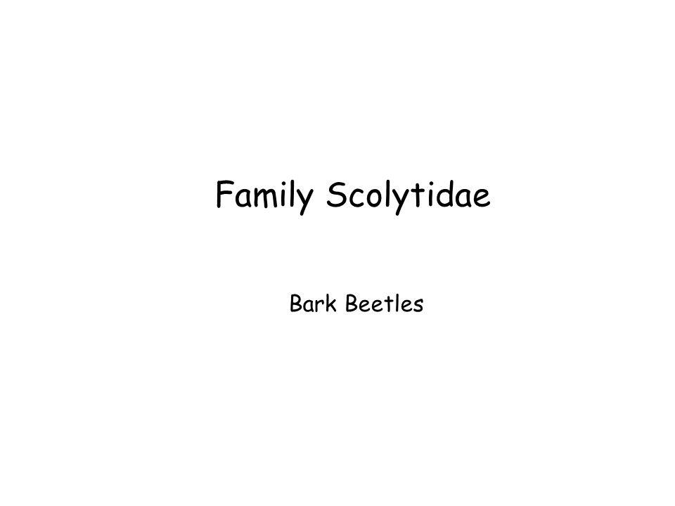 Family Scolytidae Bark Beetles