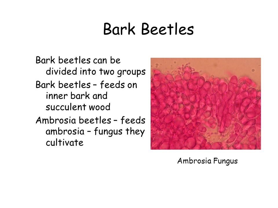 Bark Beetles Bark beetles can be divided into two groups Bark beetles – feeds on inner bark and succulent wood Ambrosia beetles – feeds ambrosia – fun