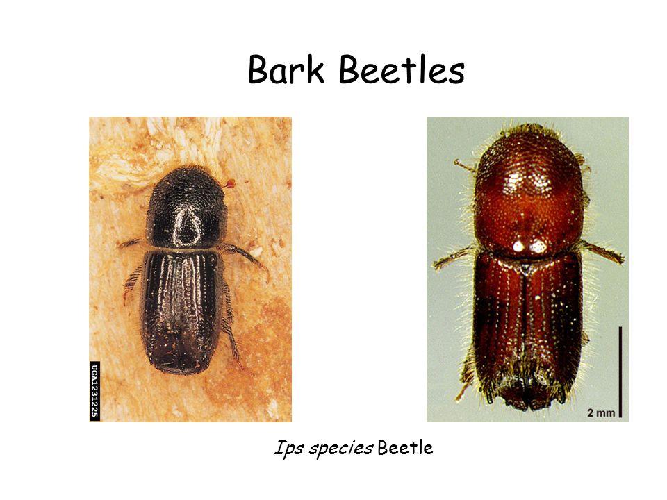Bark Beetles Ips species Beetle
