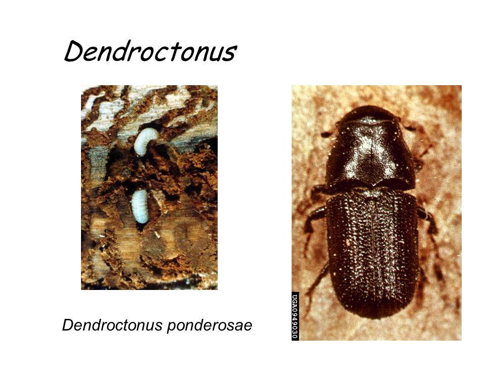 Dendroctonus Dendroctonus ponderosae