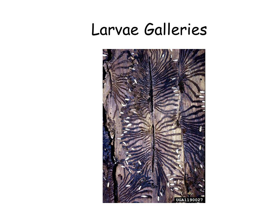 Larvae Galleries