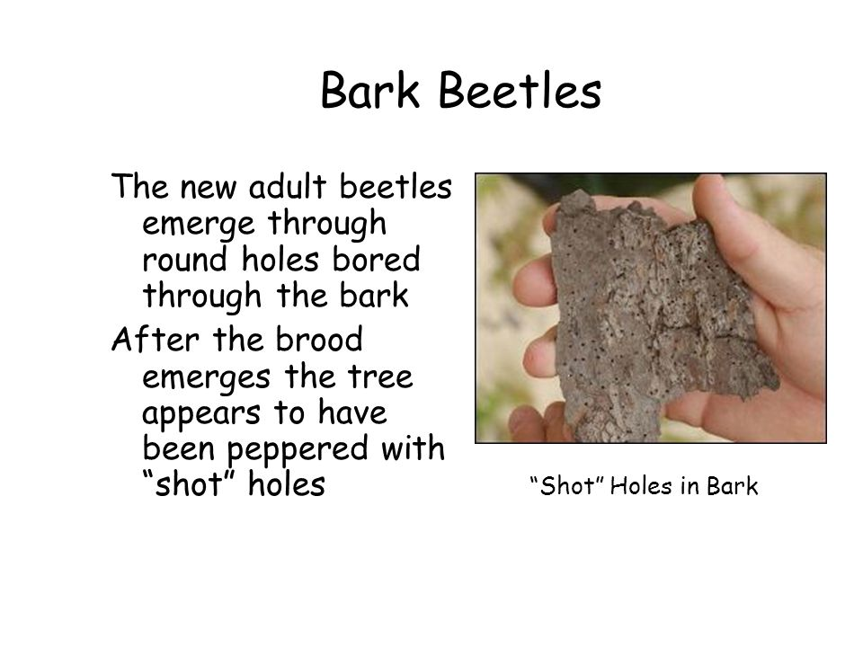 Bark Beetles The new adult beetles emerge through round holes bored through the bark After the brood emerges the tree appears to have been peppered wi