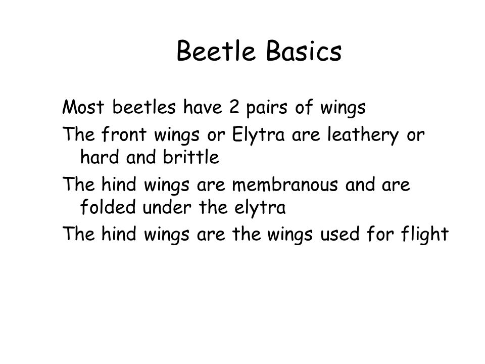 Beetle Basics Most beetles have 2 pairs of wings The front wings or Elytra are leathery or hard and brittle The hind wings are membranous and are fold