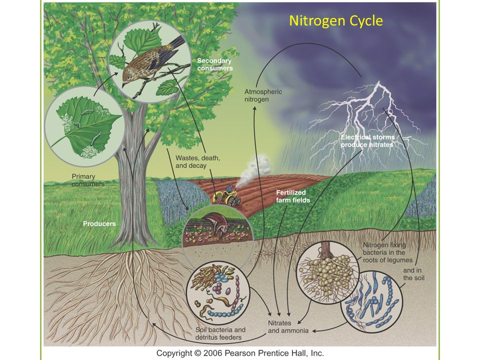 NO 3 – in soil Nitrogen Fixation by industry for agriculture Fertilizers Food Webs On Land NH 3, NH 4 + in soil 1.