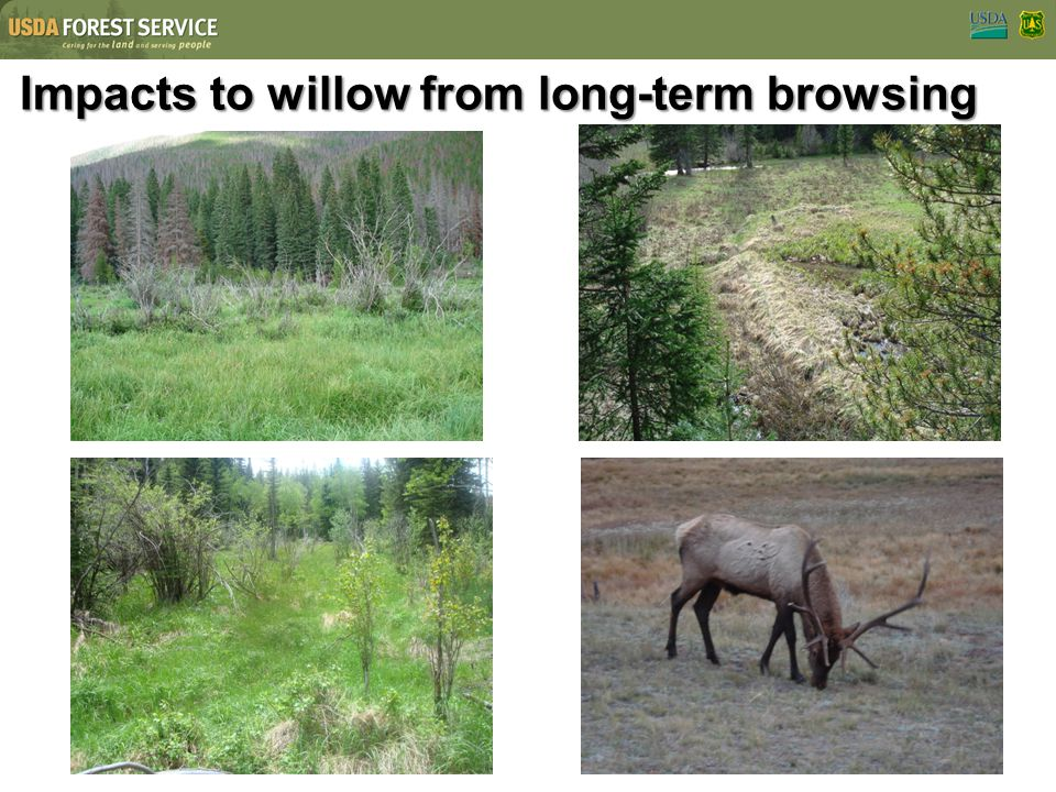 Impacts to willow from long-term browsing
