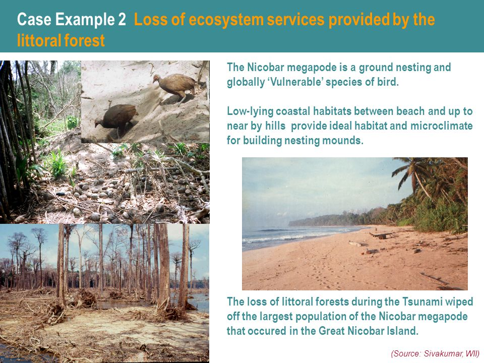 The loss of littoral forests during the Tsunami wiped off the largest population of the Nicobar megapode that occured in the Great Nicobar Island.