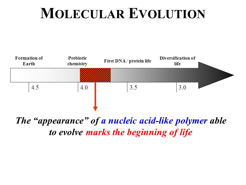 M OLECULAR E VOLUTION Formation of Earth 4.5 Prebiotic chemistry 4.0 First DNA / protein life 3.5 Diversification of life 3.0 The appearance of a nucleic acid-like polymer able to evolve marks the beginning of life