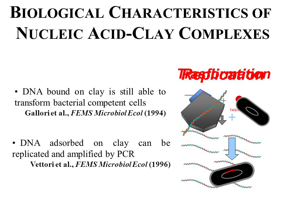 B IOLOGICAL C HARACTERISTICS OF N UCLEIC A CID -C LAY C OMPLEXES DNA bound on clay is still able to transform bacterial competent cells Gallori et al., FEMS Microbiol Ecol (1994) DNA adsorbed on clay can be replicated and amplified by PCR Vettori et al., FEMS Microbiol Ecol (1996) Replication TAQ-Polymerase + Trasformation +