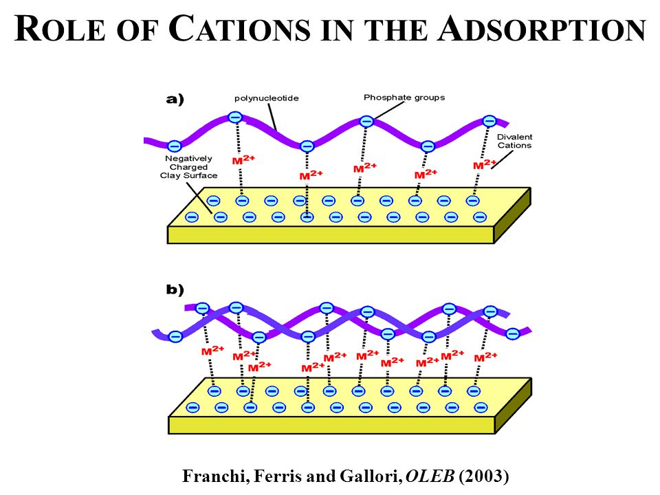 R OLE OF C ATIONS IN THE A DSORPTION Franchi, Ferris and Gallori, OLEB (2003)