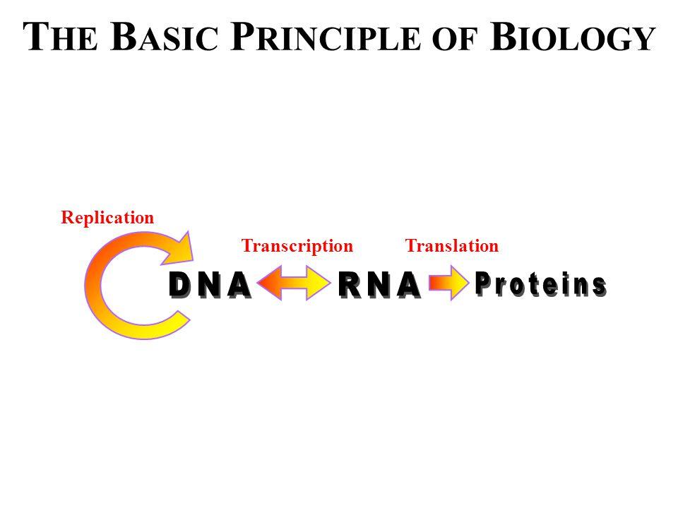 A DENINE D EPENDENT H AIRPIN R IBOZYME (ADHR1) ADHR1 Meli et al., J. Biol. Chem (2003)