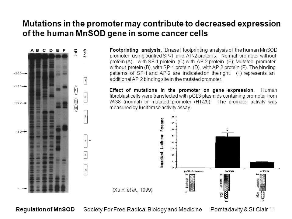Regulation of MnSOD Society For Free Radical Biology and Medicine Porntadavity & St Clair 11 Mutations in the promoter may contribute to decreased expression of the human MnSOD gene in some cancer cells Effect of mutations in the promoter on gene expression.