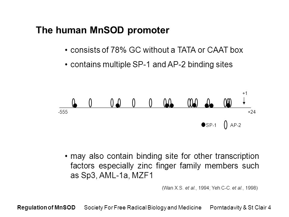 Regulation of MnSOD Society For Free Radical Biology and Medicine Porntadavity & St Clair 4 The human MnSOD promoter consists of 78% GC without a TATA or CAAT box contains multiple SP-1 and AP-2 binding sites may also contain binding site for other transcription factors especially zinc finger family members such as Sp3, AML-1a, MZF1 (Wan X.S.