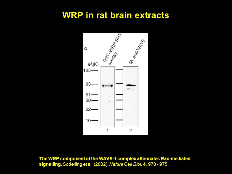 The WRP component of the WAVE-1 complex attenuates Rac-mediated signalling.