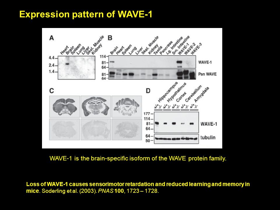 Loss of WAVE-1 causes sensorimotor retardation and reduced learning and memory in mice.