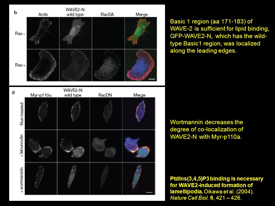 PtdIns(3,4,5)P3 binding is necessary for WAVE2-induced formation of lamellipodia.