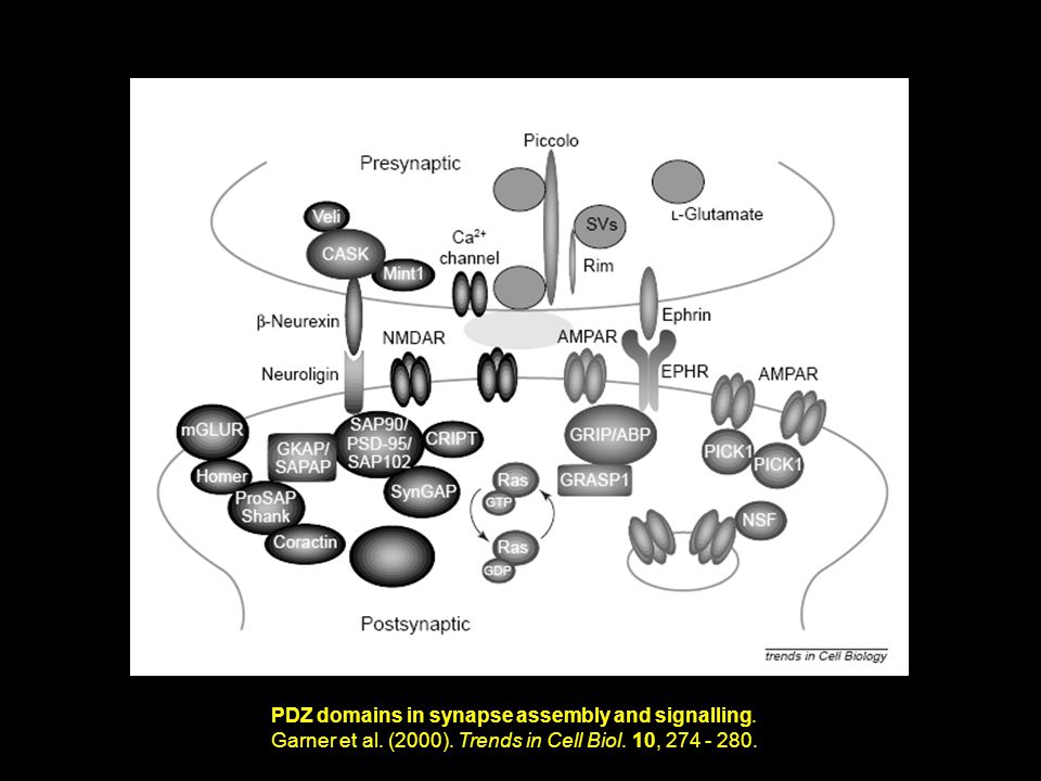 PDZ domains in synapse assembly and signalling. Garner et al.