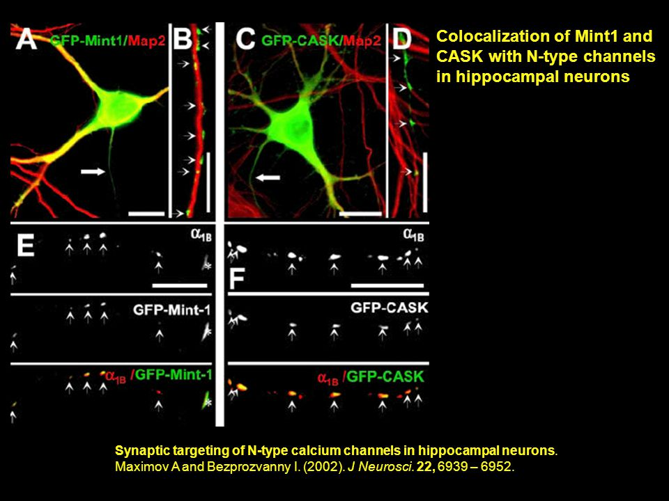 Synaptic targeting of N-type calcium channels in hippocampal neurons.