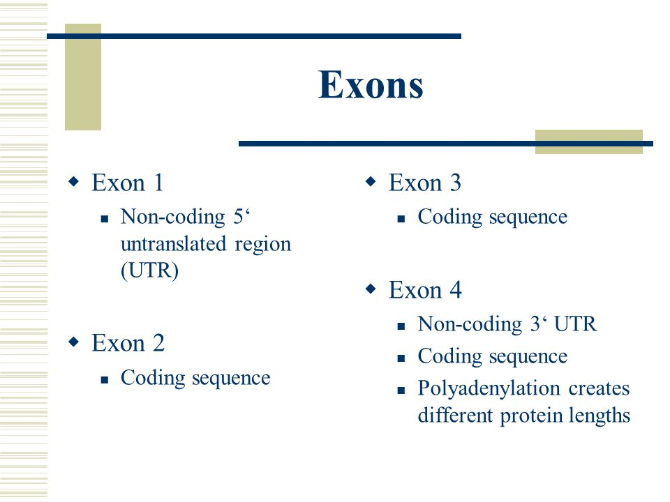 Exons  Exon 1 Non-coding 5' untranslated region (UTR)  Exon 2 Coding sequence  Exon 3 Coding sequence  Exon 4 Non-coding 3' UTR Coding sequence Polyadenylation creates different protein lengths