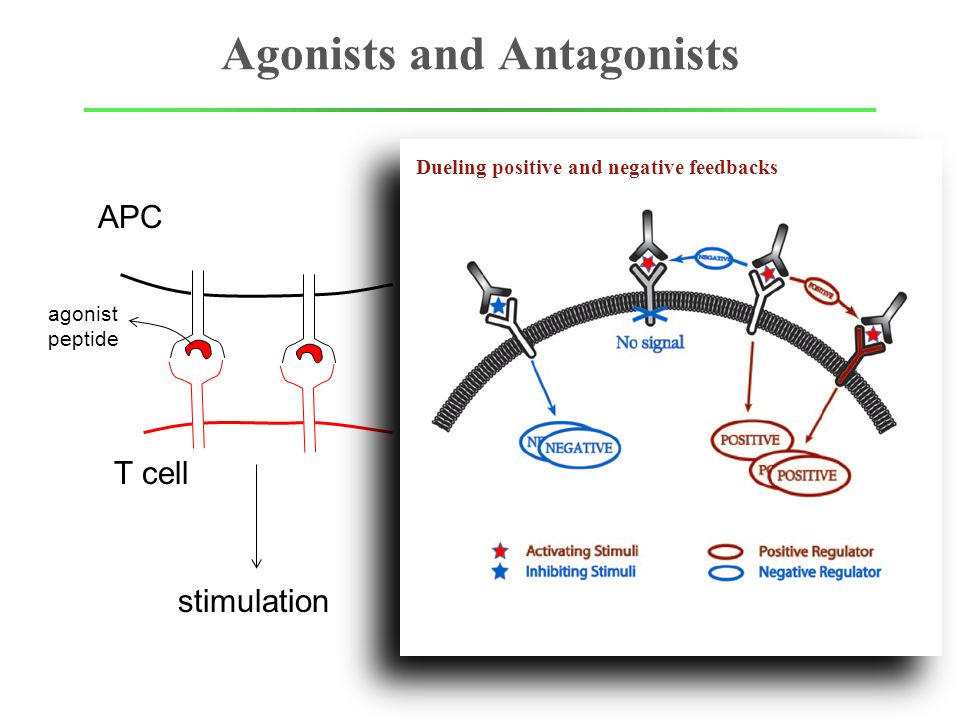 Agonists and Antagonists APC T cell agonist peptide agonist peptide stimulation suppressed Dueling positive and negative feedbacks