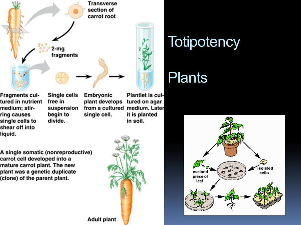 Totipotency Plants