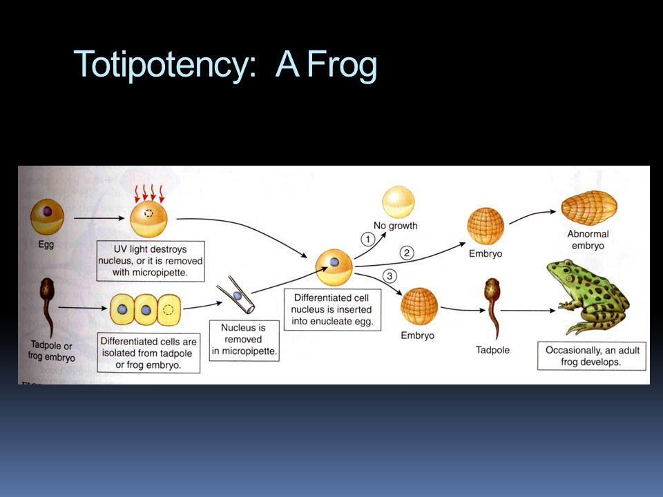 Totipotency: A Frog