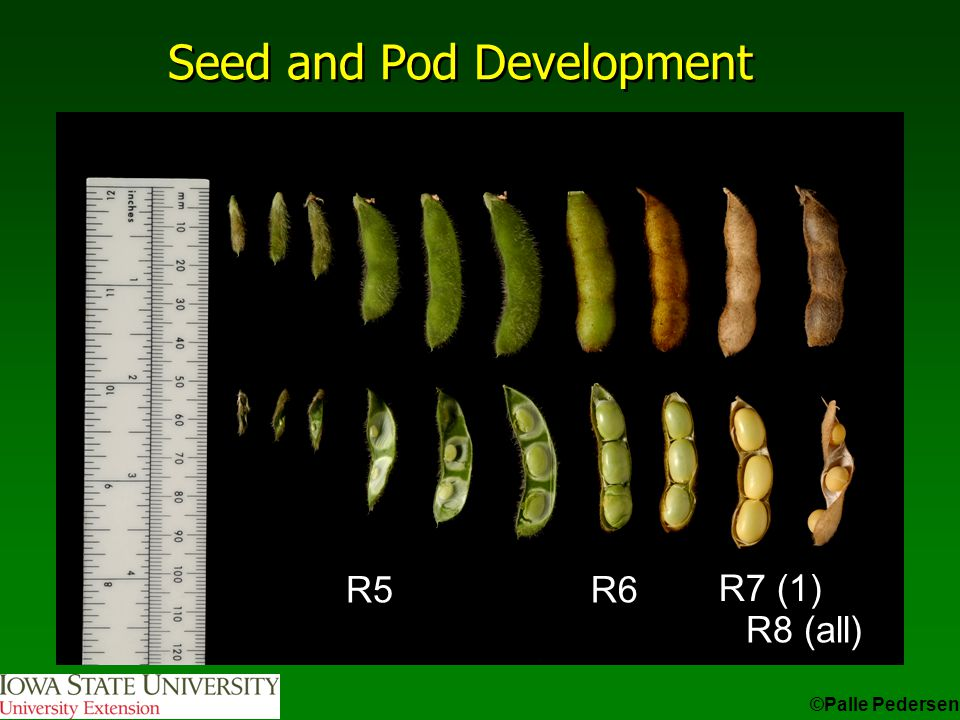 Seed and Pod Development ©Palle Pedersen R5R6 R8 (all) R7 (1)