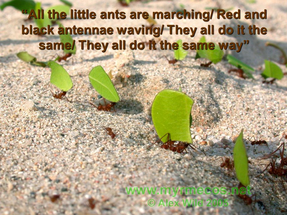 All the little ants are marching/ Red and black antennae waving/ They all do it the same/ They all do it the same way