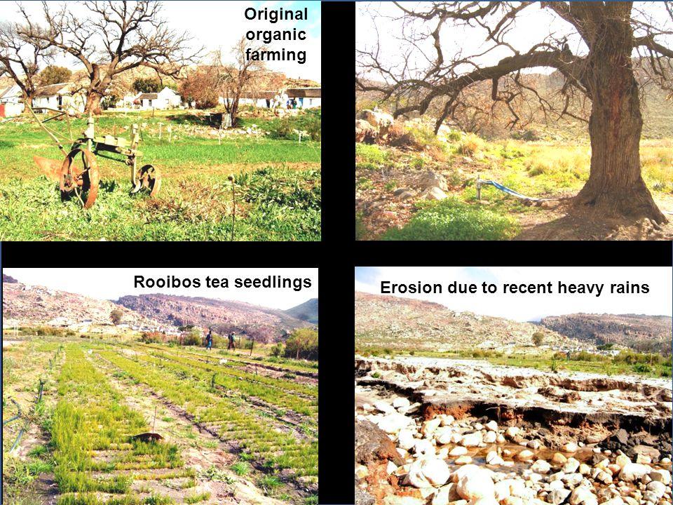 Erosion due to recent heavy rains Rooibos tea seedlings Original organic farming