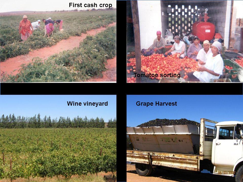 Wine vineyardGrape Harvest First cash crop Tomatoe sorting