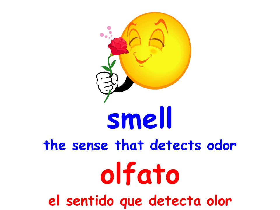 smell the sense that detects odor olfato el sentido que detecta olor