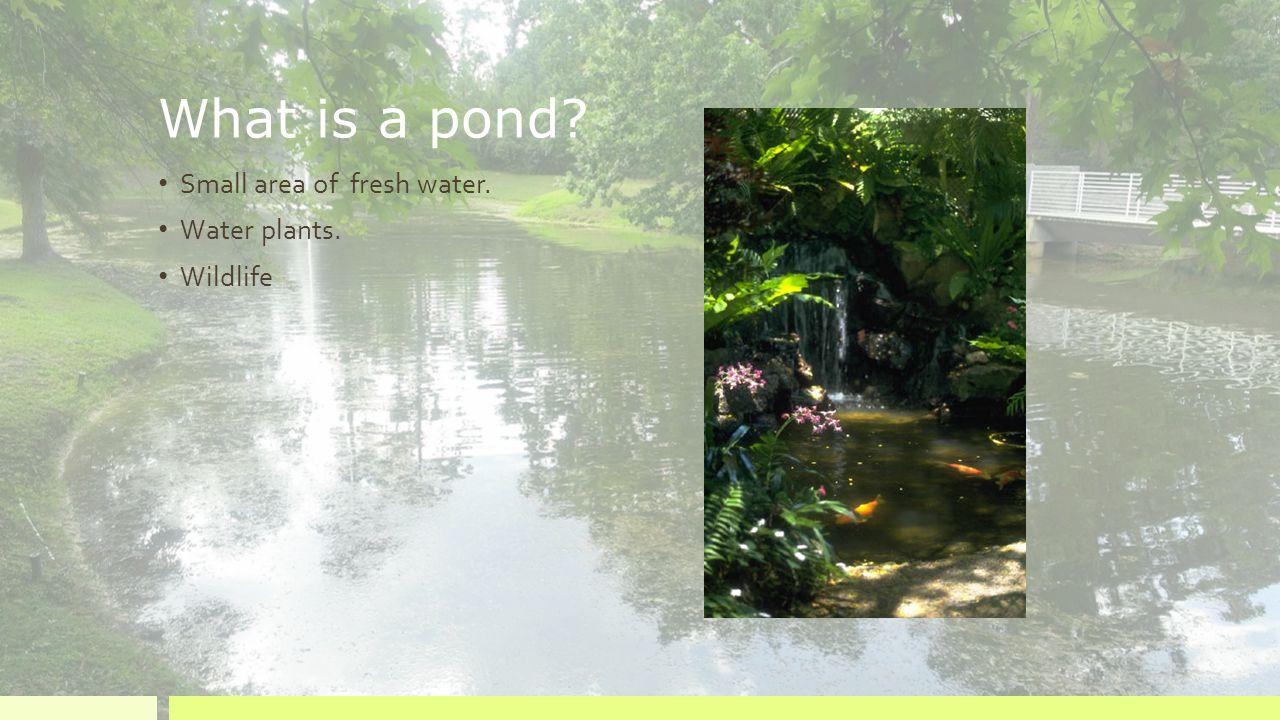 What is a pond Small area of fresh water. Water plants. Wildlife