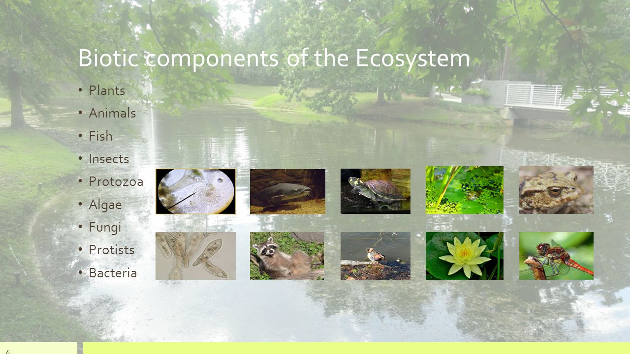 Biotic components of the Ecosystem Plants Animals Fish Insects Protozoa Algae Fungi Protists Bacteria 4