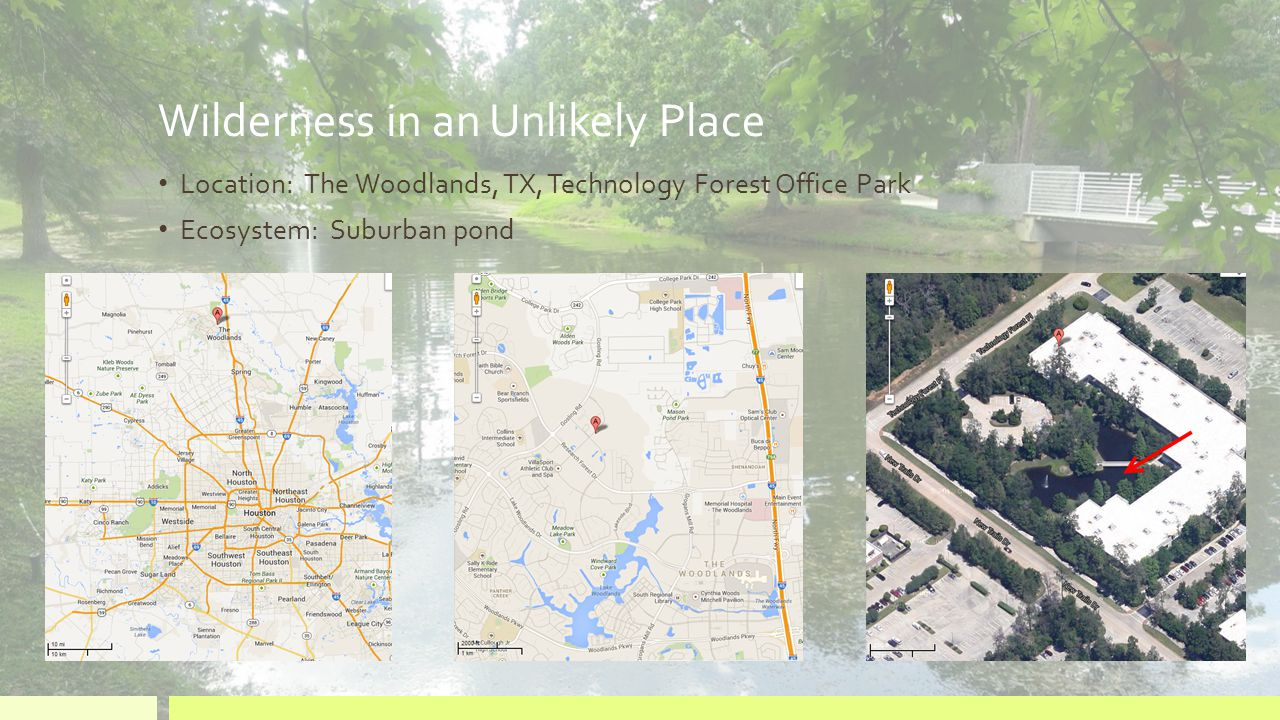 Wilderness in an Unlikely Place Location: The Woodlands, TX, Technology Forest Office Park Ecosystem: Suburban pond