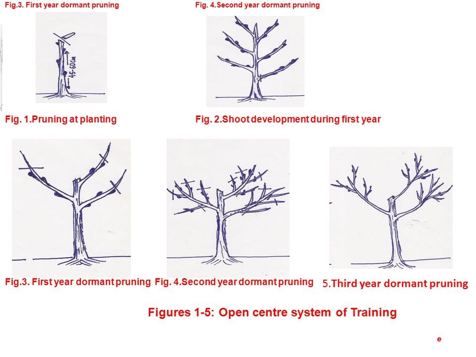 Fig. 1.Pruning at plantingFig. 2.Shoot development during first year Fig.3.