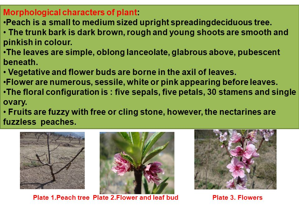 Morphological characters of plant: Peach is a small to medium sized upright spreadingdeciduous tree.